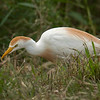 Cattle Egret at the righthand side of the auto-trail road on the 2nd leg.  Shot with a Sony ILCE-7RM2 camera body and a Tamron 150-600mm F5-6.3 SSM Mark II lens.  Part of a lens trial.