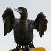 Neotropical Cormorant.  No noise reduction software or sharpening of any kind!   Shot with  a Sony ILCE-7RM2 camera body and a Tamron  150-600mm F5-6.3 SSM Mark II lens as part of a lens trial.