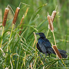 Grackle.   Shot with  a Sony ILCE-7RM2 camera body and a Tamron  150-600mm F5-6.3 SSM Mark II lens as part of a lens trial.