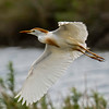 Cattle Egret in flight along the channel on the right side of the auto-trial on the 2nd leg.  Shot with  a Sony ILCE-7RM2 camera body and a Tamron  150-600mm F5-6.3 SSM Mark II lens as part of a lens trial.