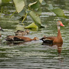Black Belly Whistling Ducks right, and left a pair of Blue-wing Teal.  Shot with  a Sony ILCE-7RM2 camera body and a Tamron  150-600mm F5-6.3 SSM Mark II lens as part of a lens trial.