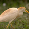 Cattle Egret at the righthand side of the autotrail road on the 2nd leg.  Shot with a Sony ILCE-7RM2 camera body and a Tamron 150-600mm F5-6.3 SSM Mark II lens.  Part of a lens trial.