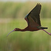 White-eyed Ibis in flight.   Shot with  a Sony ILCE-7RM2 camera body and a Tamron  150-600mm F5-6.3 SSM Mark II lens as part of a lens trial.