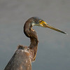 Tri-colored Heron juvenile portrait.   Shot with  a Sony ILCE-7RM2 camera body and a Tamron  150-600mm F5-6.3 SSM Mark II lens as part of a lens trial.