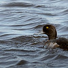 Lesser Scaup male as judged by head shape.