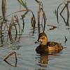 Ring-necked Duck female.