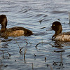 Lesser Scaup, female(left) and male(right).