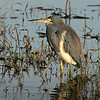 Tri-colored Heron.  Shot with the Sony A7R II body and the Sony SAL70400G2 lens.