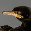 Neotropical Cormorant portrait.
