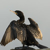 Neotropical Cormorant.  Shot at ISO1600.  Converted to Jpeg in Adobe Camera Raw.  No Sharpening and no Noise Reduction.  Reason for no noise reduction required is the new Sony Xmor R sensor; completely new  and unique design.  Click on link below to see new revolutionary design.