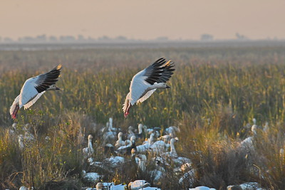 Snow Geese Landing on the Marsh