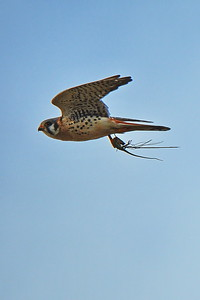 American Kestral with Mouse