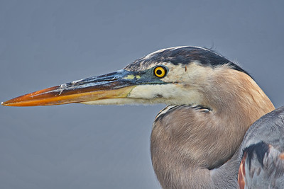 Great Blue Heron with Mosquito