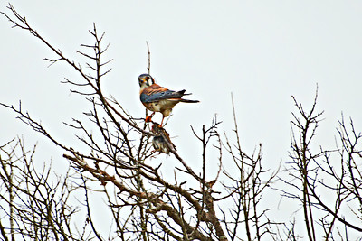Smallest of the falcons, the Kestrel is a fierce killer of smaller birds.