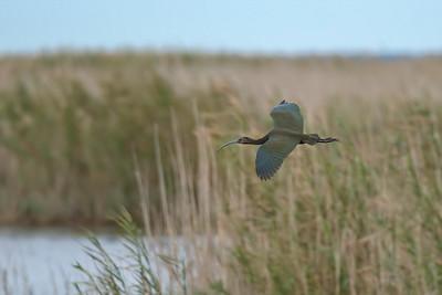 White-faced Ibis, flying