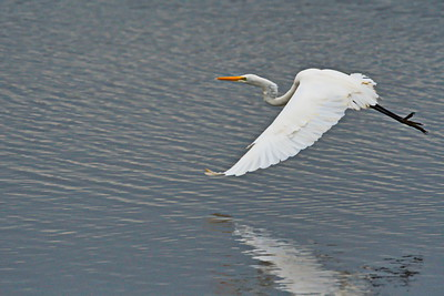 Anahuac_12-30_Great_egret_Flying_D50_0840