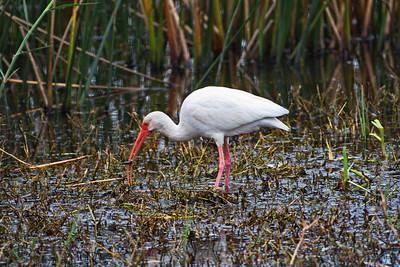 White Ibis eating a Minnow