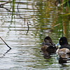 Greater Scaup: hen & drake