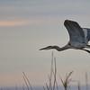 Great Blue Heron, flying