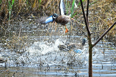 AnahuacNWR_3-Blue-winged_Teal_Courtship_fight_D50_1147