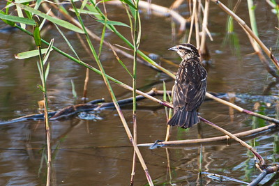 AnahuacNWR_Red-winged_Blackbird_female_D50_1280
