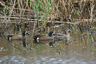 AnahuacNWR_3-Blue-winged_Teal_Prior_Courtship_fight_D50_1131