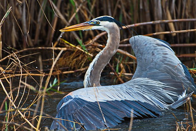 AnahuacNWR_Great-blue_Heron_Fish-too-big_D50_1256