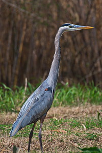 AnahuacNWR_Great_Blue-heron_Tall_D50_1207