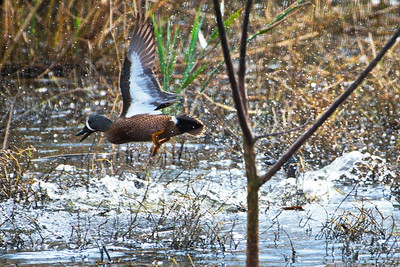 AnahuacNWR_3-Blue-winged_Teal_Courtship_fight_D50_1149