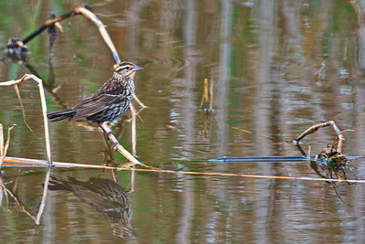 AnahuacNWR_Red-winged_Blackbird_femaile_D50_1275