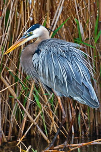 AnahuacNWR_Great-blue_Heron_D50_1260