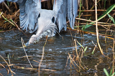 AnahuacNWR_Great-blue_Heron_Fish-too-big_D50_1249
