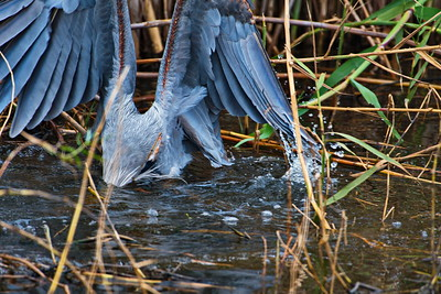 AnahuacNWR_Great-blue_Heron_Fish-too-big_D50_1239