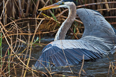 AnahuacNWR_Great-blue_Heron_Fish-too-big_D50_1255