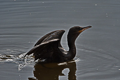 AnahuacNWR_Neotropic_Cormorant_D50_1108