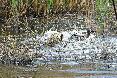 AnahuacNWR_3-Blue-winged_Teal_Courtship_fight_D50_1150
