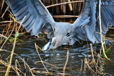 AnahuacNWR_Great-blue_Heron_Fish-too-big_D50_1246