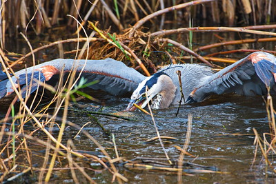 AnahuacNWR_Great-blue_Heron_Fish-too-big_D50_1252