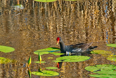 Anahuac_NWR_June-2015_Moorehen_RAW0627
