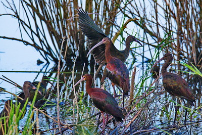 Anahuac_NWR_June_2015_RAW0919
