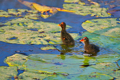 Anahuac_NWR_June-2015_Two-Moorhen_Babies_RAW0416