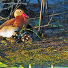 Black-bellied Whistling Duck with babies