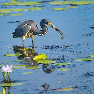 Anahuac_NWR_June-2015_Tricolor_Prey_RAW0822