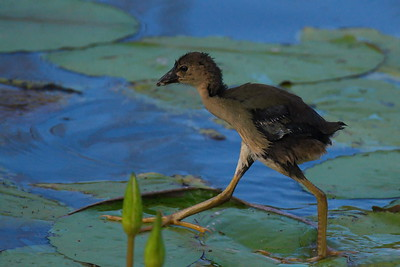 Anahuac_NWR_June_2015_RAW0947