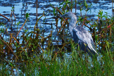 Immature_Great-Blue_Heron_D71_4678