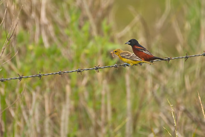 Orchard Oriole Pair (female & male)
