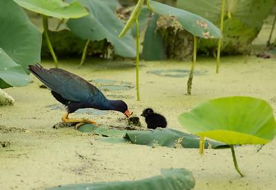 Purple Galinule & Chick