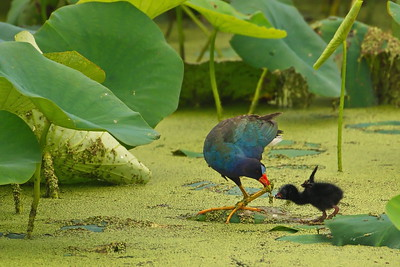 Purple Galinule Feeding Chick