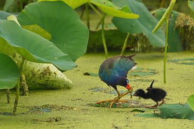 Purple Galinule Feeding Chick