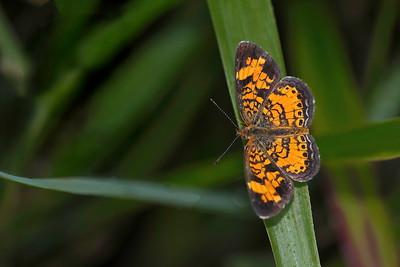 Unknown Orange & Black Butterfly